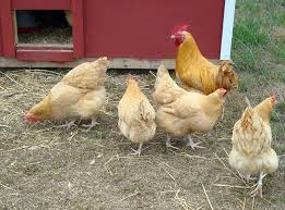 Cover photo for Poultry Show and Sale Interest Meeting
