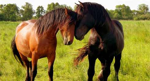 brown horse and black horse touching noses
