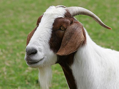 Image of a goat
