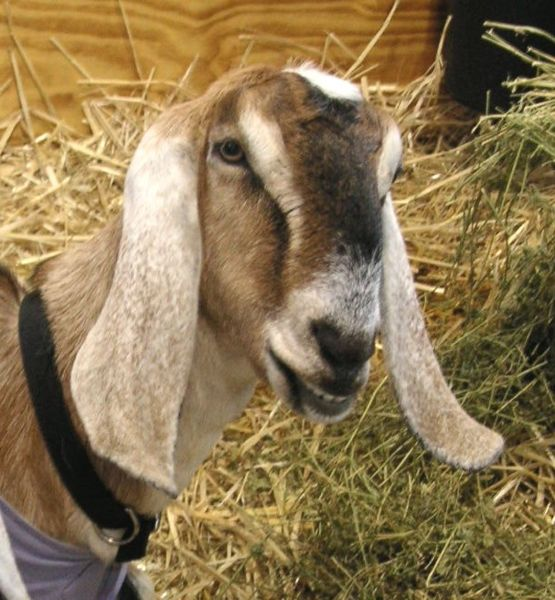 Image of livestock