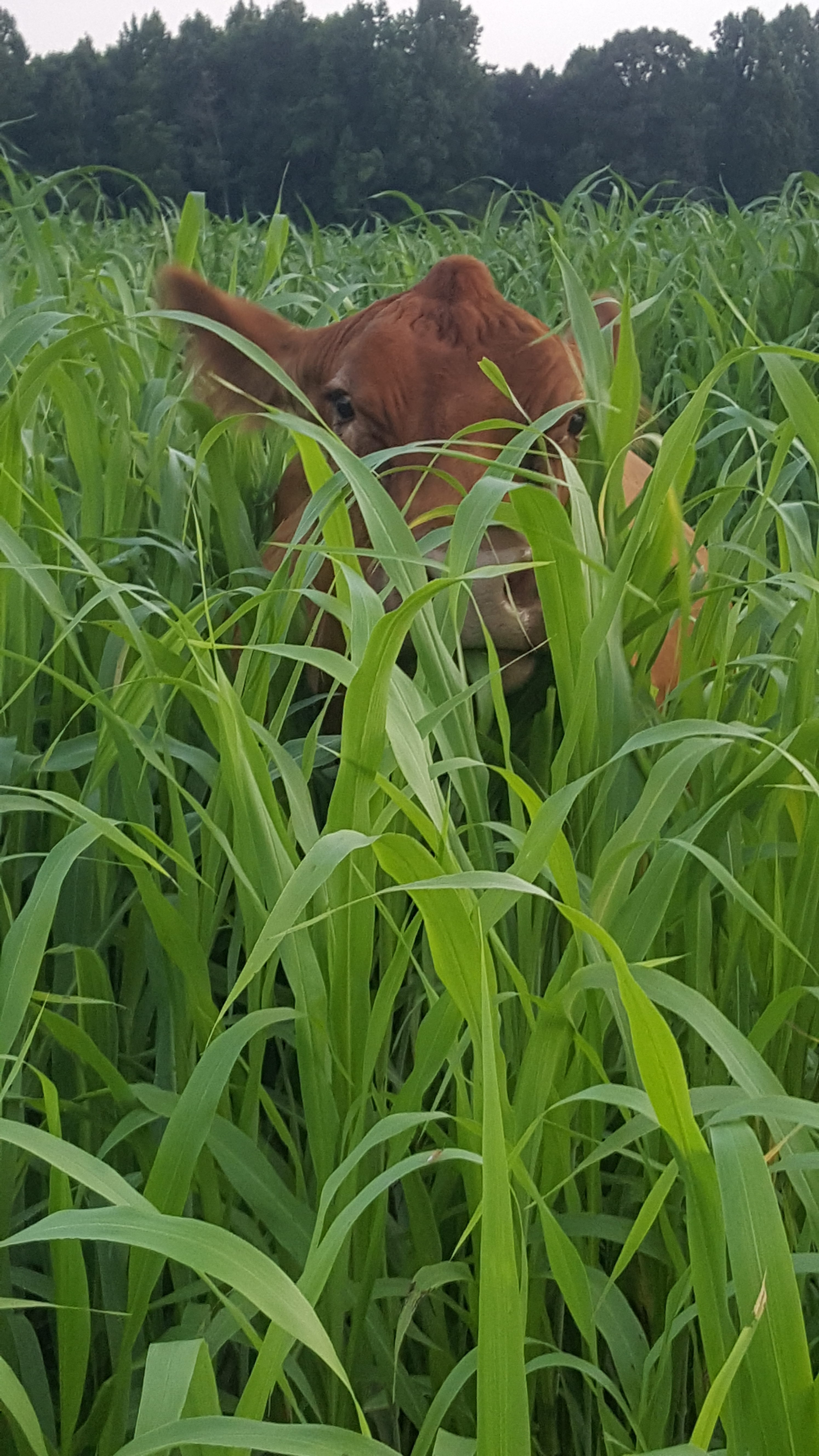 Image of cow in field