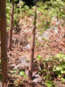 a young bamboo shoot emerging from the ground