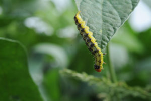 Cover photo for Important Changes to Insecticide Recommendations for Corn Earworm and When to Treat