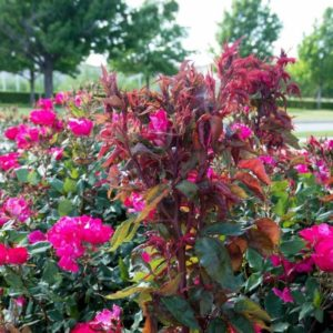 Red shoot color of rose infected with rose rosette disease