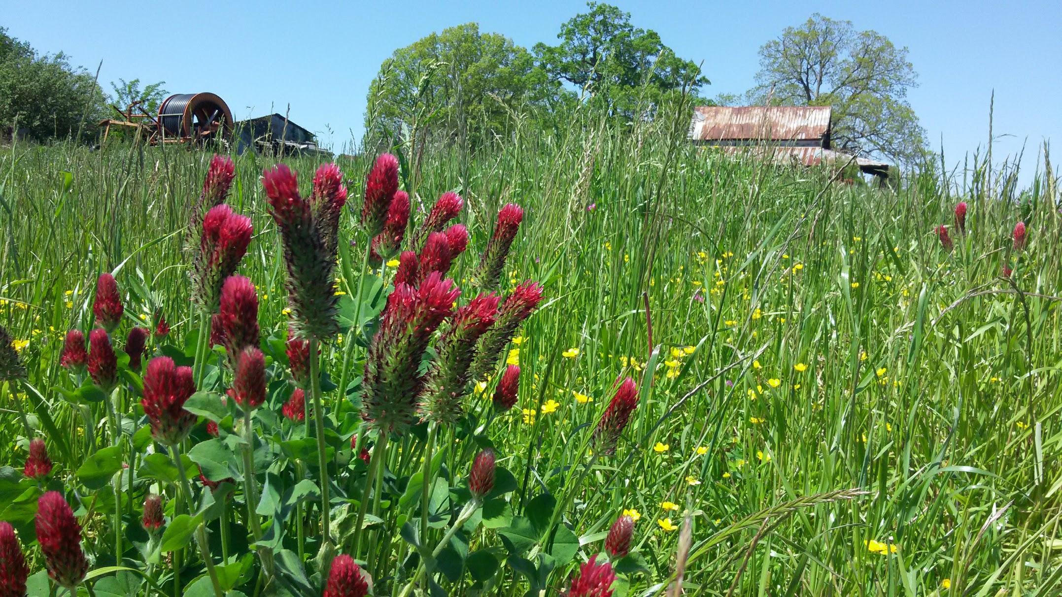 Crimson clover in field.